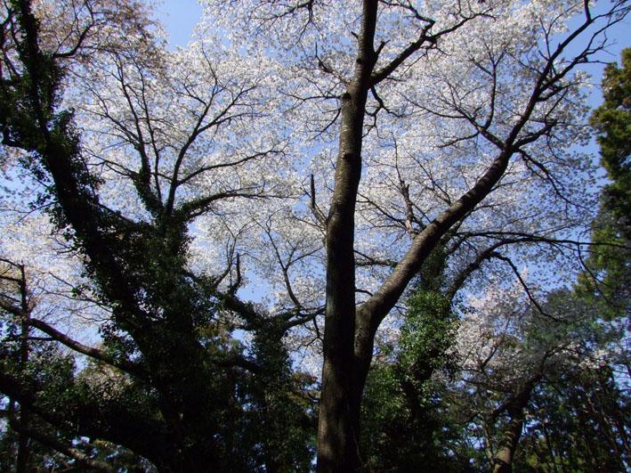 川上克己さんが撮った六国見山の大蛇桜(夫婦桜)4・6_c0014967_16203451.jpg