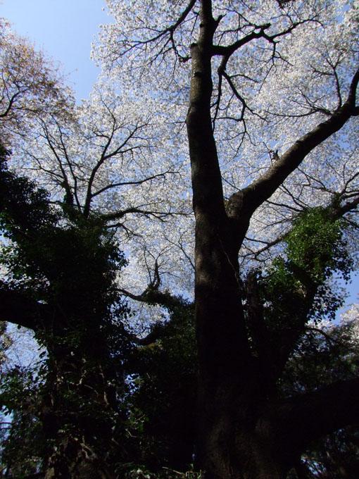 川上克己さんが撮った六国見山の大蛇桜(夫婦桜)4・6_c0014967_16242559.jpg