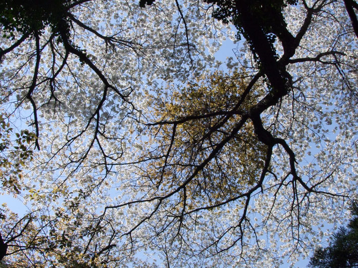 川上克己さんが撮った六国見山の大蛇桜(夫婦桜)4・6_c0014967_16244259.jpg