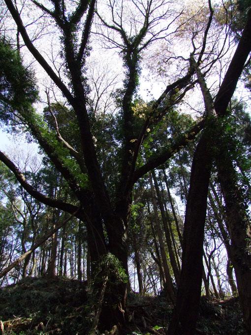 川上克己さんが撮った六国見山の大蛇桜(夫婦桜)4・6_c0014967_16311156.jpg