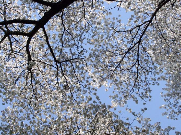 川上克己さんが撮った六国見山の大蛇桜(夫婦桜)4・6_c0014967_1664881.jpg