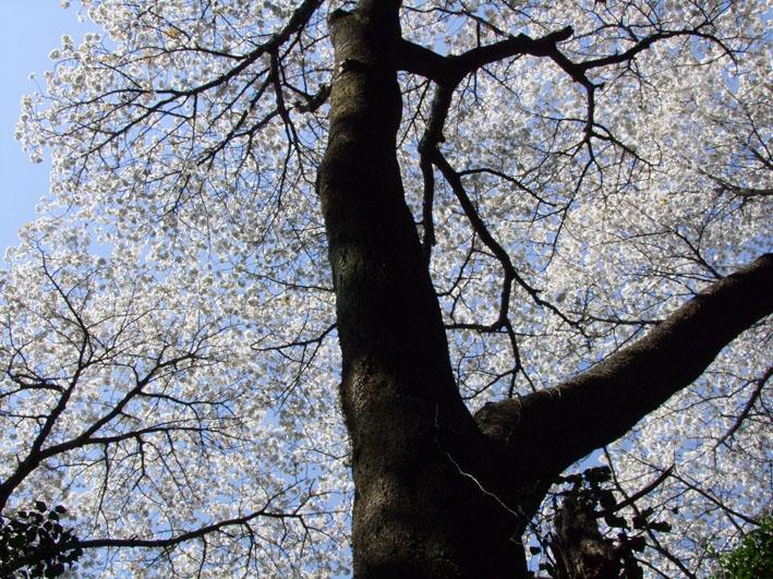 川上克己さんが撮った六国見山の大蛇桜(夫婦桜)4・6_c0014967_167595.jpg