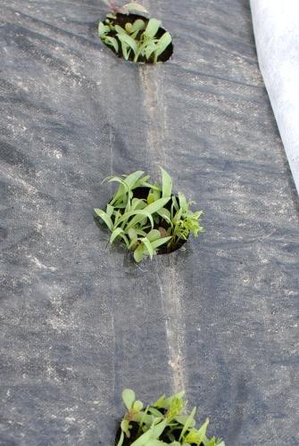 露地ホウレンソウとニンジンの草とり_c0110869_13421787.jpg