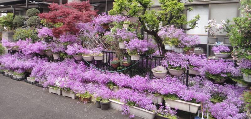 今年も見事な桜草_f0059673_19304412.jpg