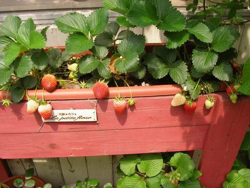 いちごの収穫♪_c0033678_12515457.jpg