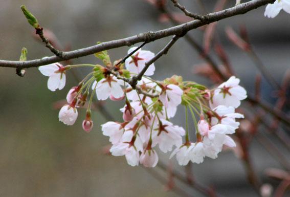 アトリエの桜咲き始める_e0054299_1155679.jpg