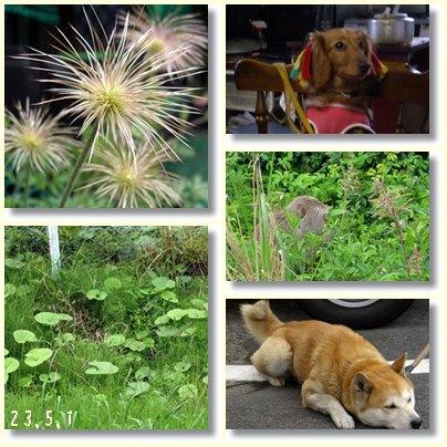 高崎山の蕗を収穫_c0015714_1836933.jpg