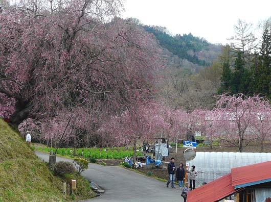 小川村の桜_d0066822_15592370.jpg