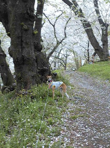 *散り桜*_d0094131_13232141.jpg