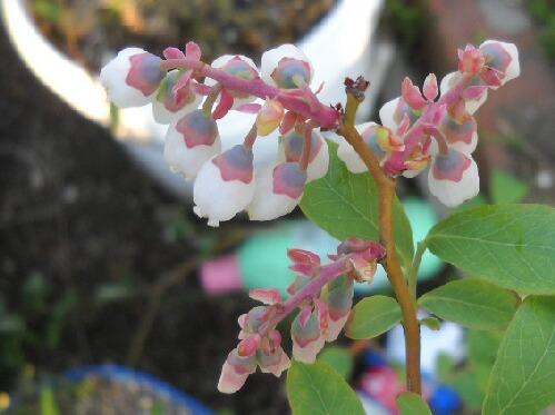 上から見たブルーベリーの花の表情_f0018078_1825067.jpg