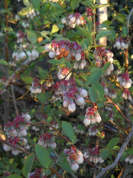 上から見たブルーベリーの花の表情_f0018078_1885335.jpg