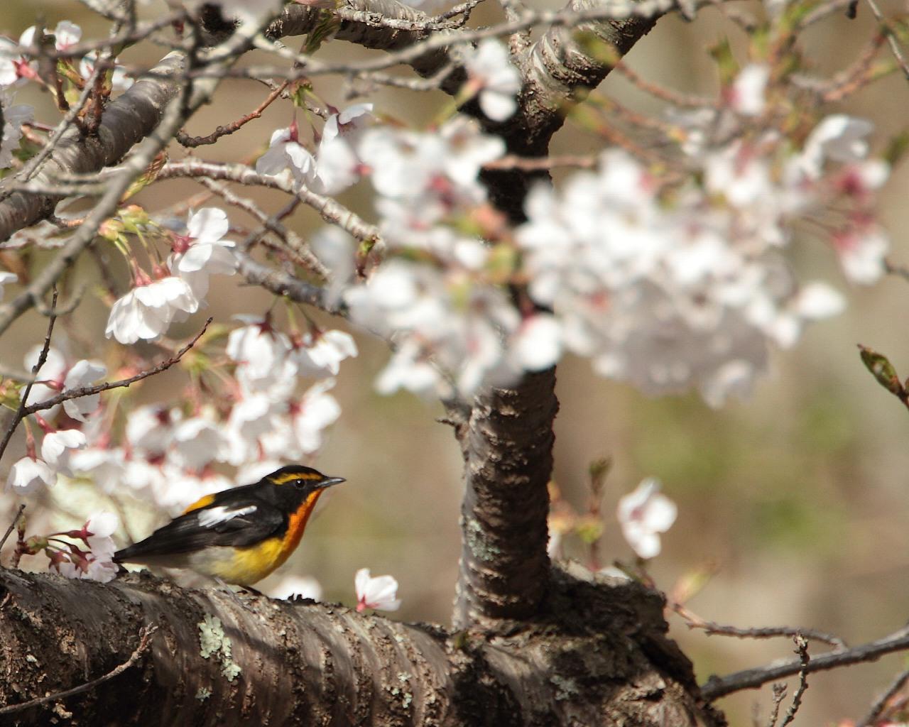 桜を追って山中湖へ_f0105570_21582396.jpg