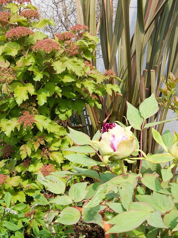 牡丹 黒竜錦 の ツボミ~開花など_f0191870_6235836.jpg