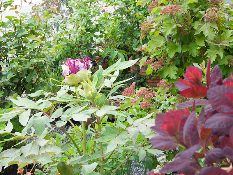 牡丹 黒竜錦 の ツボミ~開花など_f0191870_642425.jpg