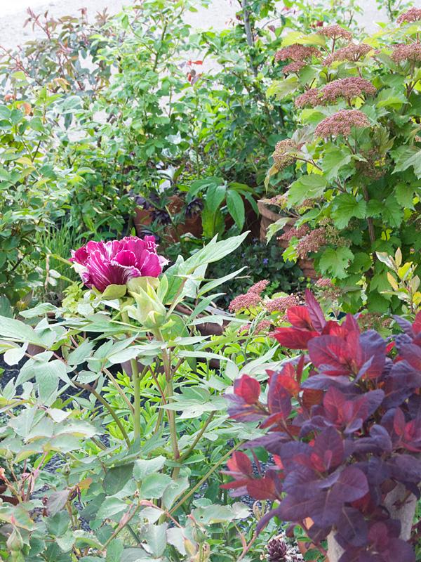 牡丹 黒竜錦 の ツボミ~開花など_f0191870_6591142.jpg