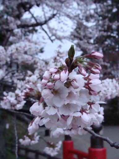 青森県 弘前城の桜_a0195373_059575.jpg