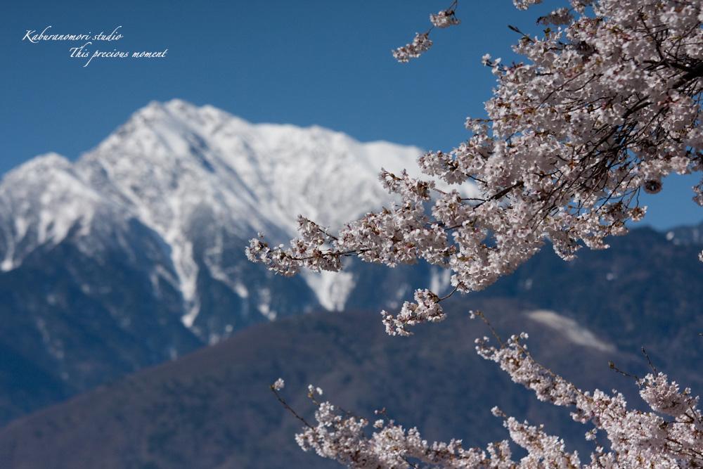 桜の季節南アルプスを望む_c0137403_19203676.jpg