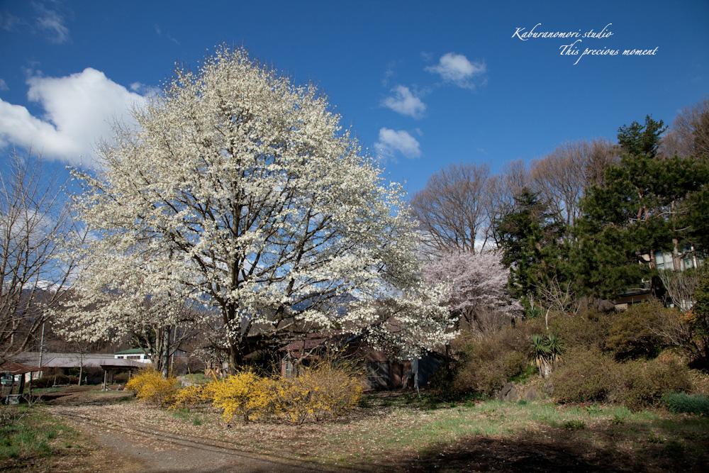 桜の季節南アルプスを望む_c0137403_192126100.jpg