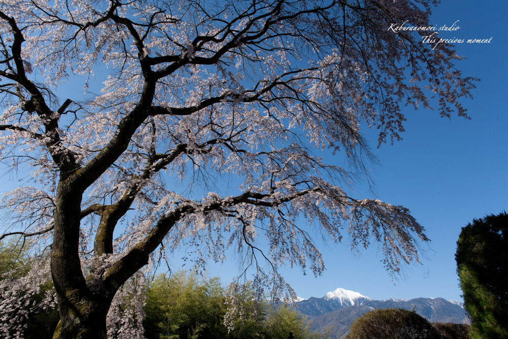 桜の季節南アルプスを望む_c0137403_19215237.jpg