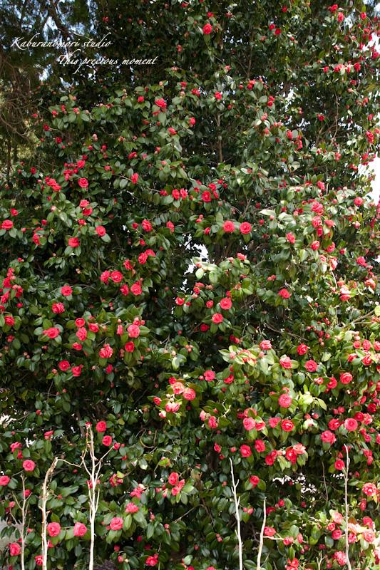 桜の季節南アルプスを望む_c0137403_19233477.jpg