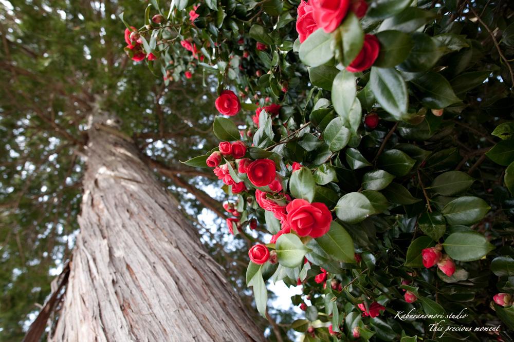 桜の季節南アルプスを望む_c0137403_19234886.jpg