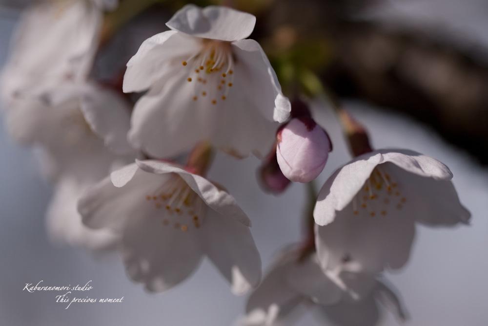 桜の季節南アルプスを望む_c0137403_19242319.jpg