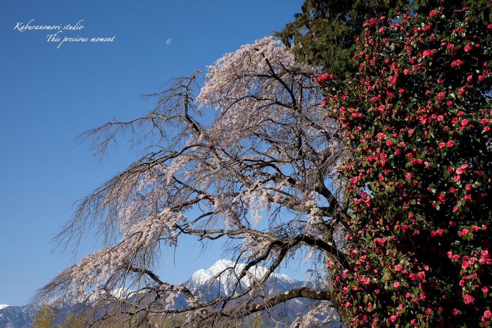 桜の季節南アルプスを望む_c0137403_19243567.jpg
