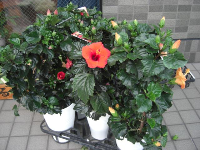 花鉢が入荷_f0226713_19393968.jpg