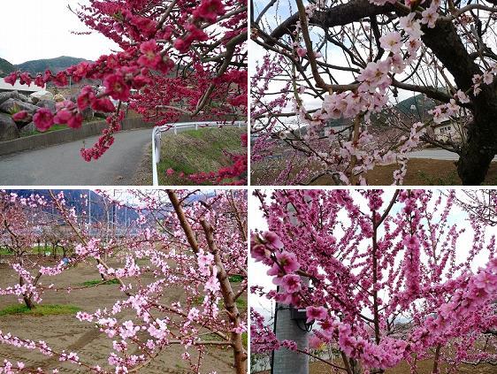 桃の花と白百合醸造@勝沼_d0113725_12455796.jpg