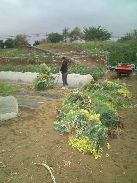 菜の花やブロッコリーアスパラ菜、小松菜、蕪、水菜の後片付け。_c0222448_10142358.jpg