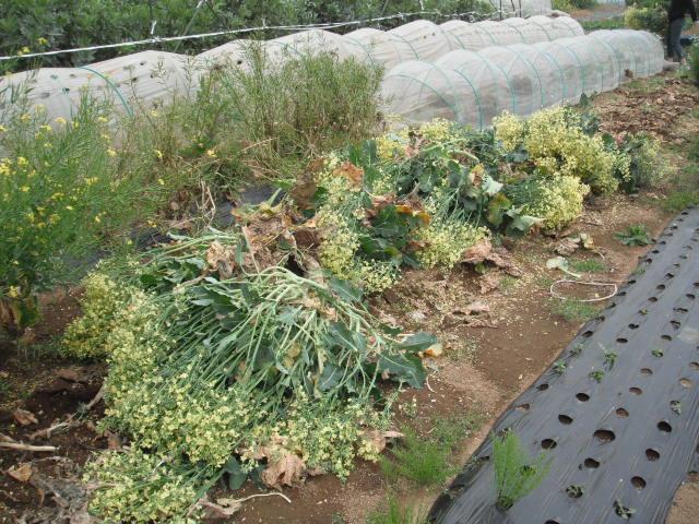 おっ雉が・・・   初春の野菜を片付けます・・・_c0222448_11565939.jpg