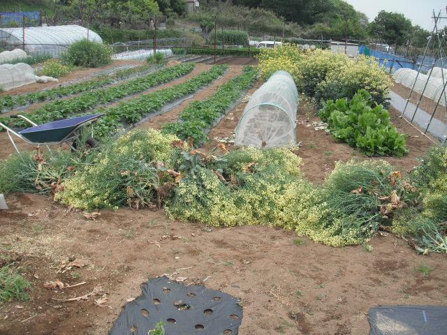 おっ雉が・・・   初春の野菜を片付けます・・・_c0222448_11571122.jpg