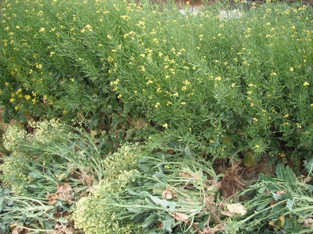 おっ雉が・・・   初春の野菜を片付けます・・・_c0222448_1157616.jpg