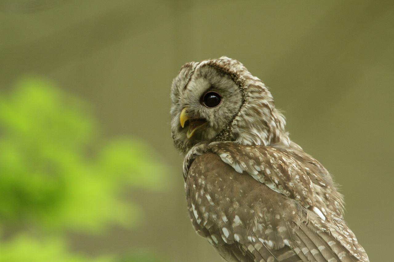 5月3日は連続で珍鳥に振られる(可愛いフクロウのフリー壁紙)_f0105570_22213223.jpg