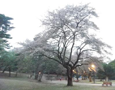 散りぎわの桜でした_a0077685_13461178.jpg