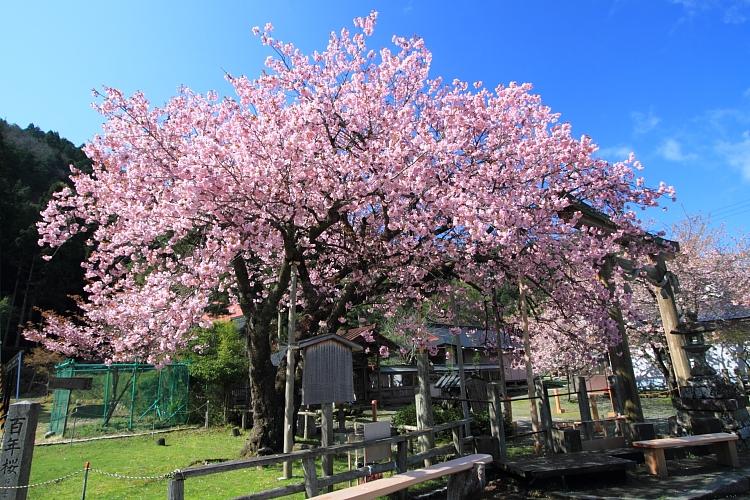 黒田百年桜_e0051888_4571266.jpg