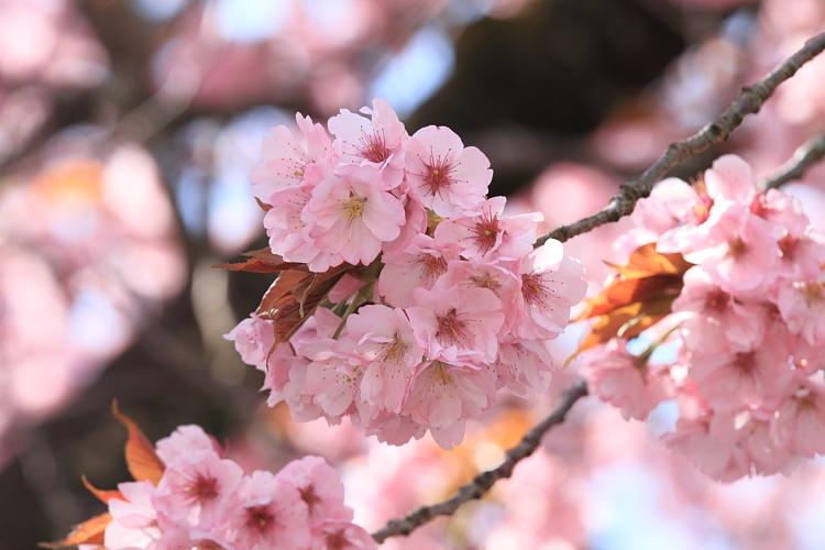 黒田百年桜_e0051888_4572816.jpg