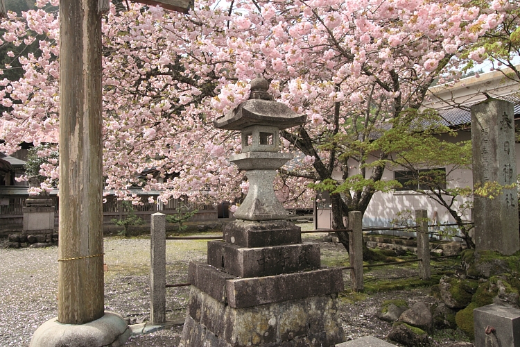 黒田百年桜_e0051888_4591251.jpg