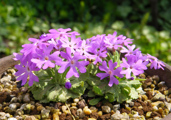 咲き始めたコザクラ類と、地植えの山野草を少し♪_a0136293_18553083.jpg