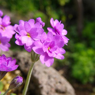 咲き始めたコザクラ類と、地植えの山野草を少し♪_a0136293_1857988.jpg