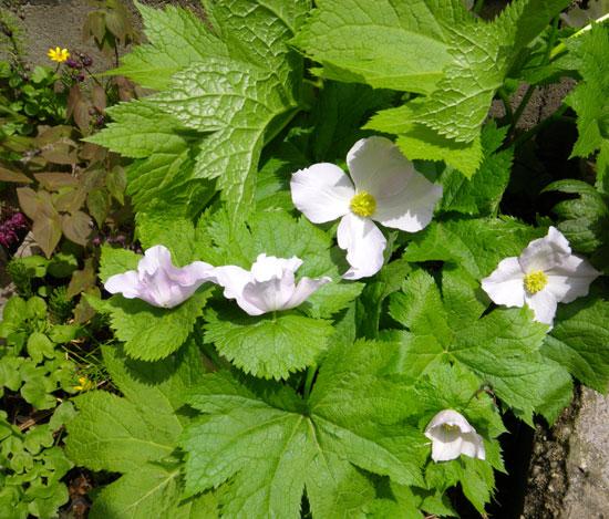 咲き始めたコザクラ類と、地植えの山野草を少し♪_a0136293_1902521.jpg