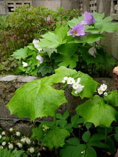 咲き始めたコザクラ類と、地植えの山野草を少し♪_a0136293_1912535.jpg