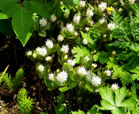 咲き始めたコザクラ類と、地植えの山野草を少し♪_a0136293_1921759.jpg
