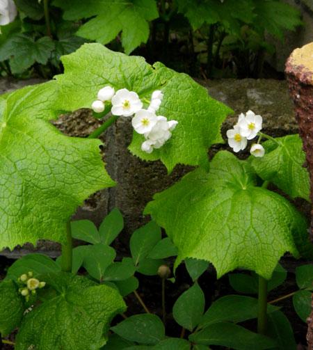 咲き始めたコザクラ類と、地植えの山野草を少し♪_a0136293_1931914.jpg