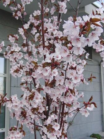 桜_a0159707_0115635.jpg