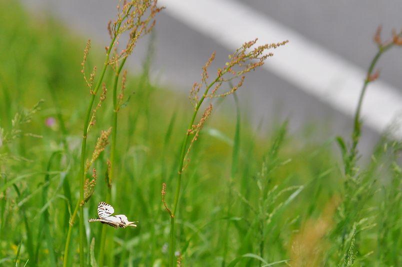 5月4日(晴れ)タイトル:河川敷の蝶達_f0105542_18504822.jpg
