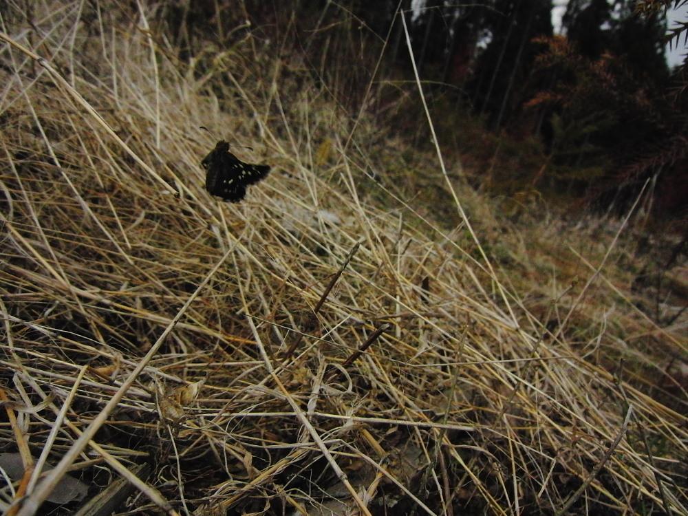 チャマダラセセリ  初見なのに産卵シーンまで。  2011.5.4茨城県_a0146869_23323654.jpg