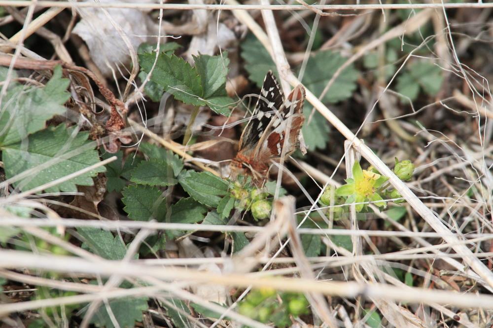 チャマダラセセリ  初見なのに産卵シーンまで。  2011.5.4茨城県_a0146869_23332370.jpg