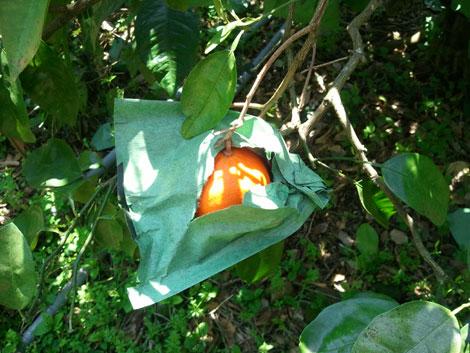 セミノール、果こう枝が枯れる     _d0141987_22513269.jpg