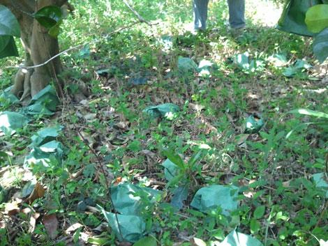 セミノール、果こう枝が枯れる     _d0141987_22514383.jpg